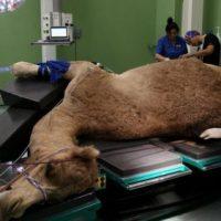 احداث اولین بیمارستان مخصوص شتر در جهان